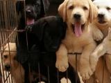 云南昆明买拉布拉多昆明哪里买的狗最健康