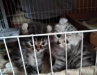 自家繁殖美短卷耳猫