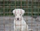 出售两三个月杜高犬 公母都有 大头版