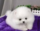 西安长期出售高品质的宠物狗博美质优价廉狗狗