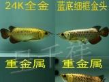 龙鱼活体金头过背金龙鱼印尼超血麒麟红龙红龙鱼批发