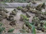 青蛙养殖找哪里,找枝江汇泽青蛙养殖