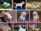 专业导盲犬拉布拉多出售 北京正规养殖场有营业执照欢迎来选