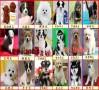重庆哪里有买卖金毛犬幼犬出售哈士奇泰迪博美 终身质保