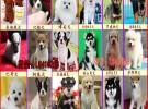 纯正血统认证神犬小七同款宠物狗幼犬出售赛级 拉布拉多犬导盲犬