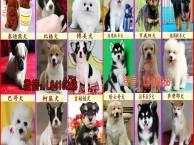 重庆宠物狗狗打折促销800一只金毛犬 萨摩耶 哈士奇拉布拉多