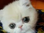 精品大圆脸加菲猫在售 猫舍专业繁殖可上门来看