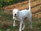 出售杜高犬价格便宜 杜高犬图片