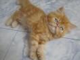出售大眼可爱波斯猫宝宝 健康活泼聪明毛量足