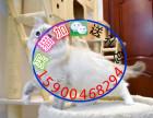 自家猫舍繁育一窝布偶 包纯种 包健康