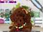 哪里有专门养泰迪犬的 纯种的多少钱一只