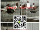 观赏鸽、肉鸽品种:美国落地王鸽、白羽王鸽、卡努鸽、球型鸽、