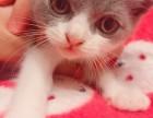 纯种英短蓝白猫咪