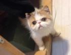 诚品犬舍-正规猫舍出售咖啡猫 布偶猫