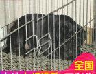 纯种巴哥犬多少钱一只 正规犬舍繁殖纯种巴哥犬 包健