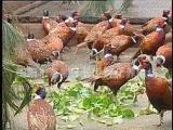 供应优质成活率高七彩野鸡苗 七彩山鸡