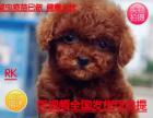 犬舍直销出生3个月的泰迪7只(5公/2母)