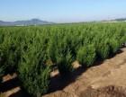 大连松树苗,大连苗圃出售大量优质松树小苗