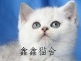 超萌英短猫 自家养的 超粘人纯种健康