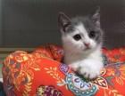 健康纯血 蓝猫幼猫 公母都有 疫苗齐全 多窝可选 欢迎品鉴
