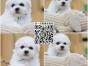 上海犬舍繁殖纯种健康比熊犬 品质好包养活 才是有保障