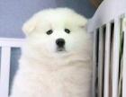 宠物店里的萨摩耶可以买吗 健不健康
