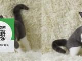 绵阳哪里有虎斑猫出售 绵阳虎斑猫价格 绵阳宠物狗出售信息