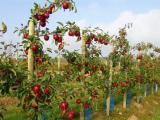 山东优质苹果苗批发 苹果苗图片 苹果苗规格