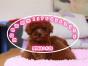 精品可爱泰迪宝宝出售 颜色可挑包纯种健康签协议