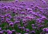 柳叶马鞭草-优质柳叶马鞭草批发价格
