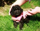 疫苗齐全送用品 签协议 包退换 纯种-泰迪熊幼犬