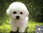 家养比熊多少钱 哪里有 重庆有比熊狗卖吗