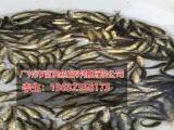 广州可靠的鱼苗提供商|四川鲶鱼苗
