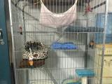 虎斑折耳猫连猫笼