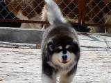 纯种阿拉斯加雪橇犬 巨型可爱熊版 品质保证
