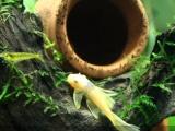 黃金大胡子鱼,蓝眼天使大帆魚