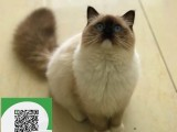 柳州哪里有布偶猫出售 柳州布偶猫价格 柳州宠物猫转让出售