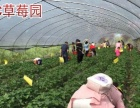 ABC草莓 绿色生态 欢迎采摘
