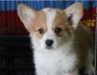 出售纯种精品活体威尔士柯基幼犬宠物狗狗小型护卫双色