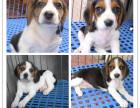正规犬舍专业繁殖精品比格签订协议售后无忧有保障