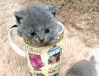 家养蓝猫找家长!便宜出!