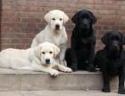 護衛之王 拉布拉多幼犬 自家繁殖