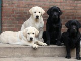 双血统拉布拉多护卫犬 疫苗驱虫已做 购买签协议