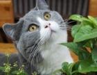 英短蓝猫公母60天包1周健康鹿城上门蓝猫