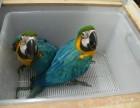 转让会说话的五彩 红绿 蓝黄金刚鹦鹉幼鸟 特价