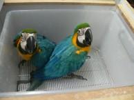 手养的蓝黄金刚鹦鹉 红绿金刚鹦鹉 五采金刚鹦鹉幼鸟