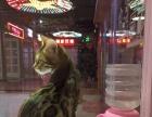 出售自家繁殖的豹猫5800元 银渐层3800