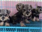精品雪纳瑞 签协议包养活 当面检测 包纯种送狗用品