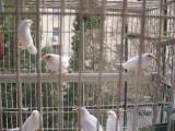 十姐妹白红眼菊花头,平头,普通花色,野十二代 珍珠鸟,手把玩