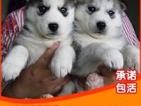 纯种 西伯利亚雪橇犬 哈士奇 幼犬 血统纯正 全国包邮